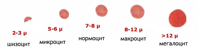 Средний объем эритроцитов (mcv): повышен или понижен в анализе крови
