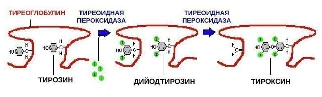 Антитела к тиреоглобулину (АТ к ТГ) повышены в анализе