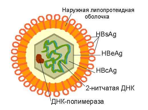 hbs-ag отрицательный: интерпретация отрицательного результата