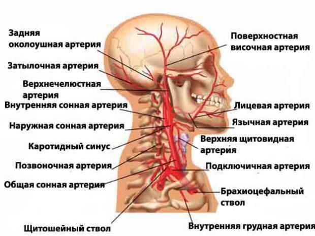 Атеросклероз брахиоцефальных артерий (БЦА): что это такое и как лечить