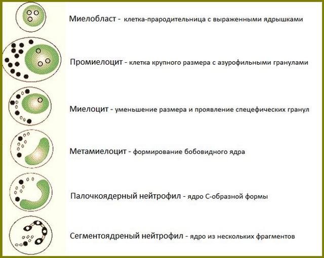 Палочкоядерные нейтрофилы:норма и причины повышения