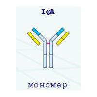 Иммуноглобулин А (iga): что это такое, расшифровка результатов