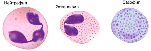 gra в анализе крови: нормы и отклонения, виды гранулоцитов