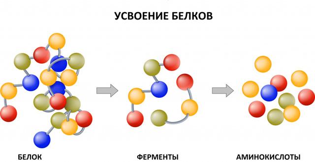 Анализ крови КФК: что означает, норма и расшифровка