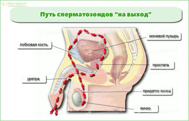 Эякуляция ретроградная (анэякуляция), сперматозоиды в моче