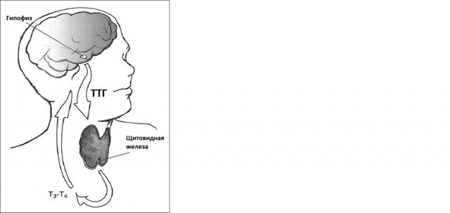Тиреотропный гормон ТТГ: норма у мужчин, женщин по возрасту (таблица)